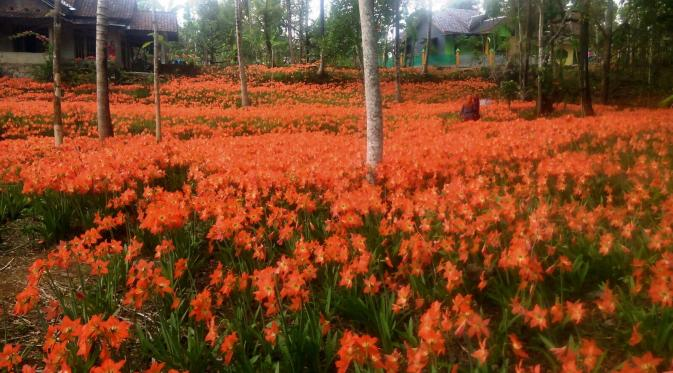 taman bunga amarylis